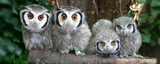 owls-at-paradise-park-hayle-cornwall-21